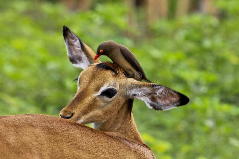 De impala en redbilled oxpecker royalty-vrije stock fotografie