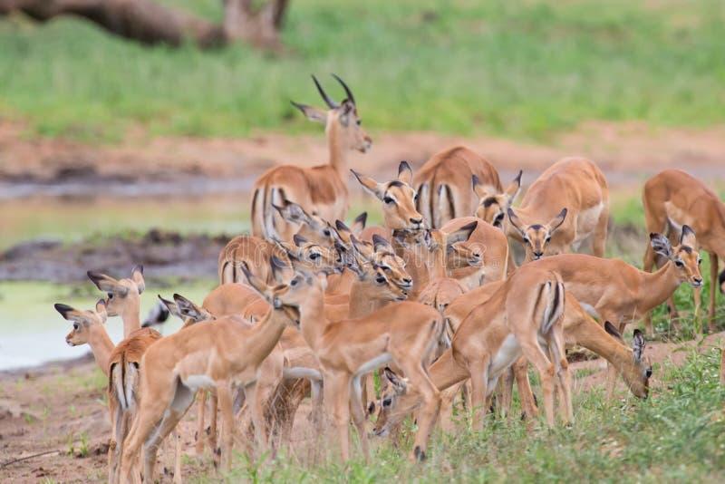 De impaladamhinde streelt haar nieuw - geboren lam in gevaarlijk milieu stock fotografie