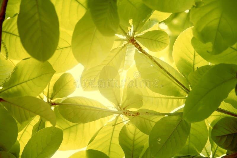 De Indische amandel doorbladert met zonneschijnachtergrond stock afbeelding