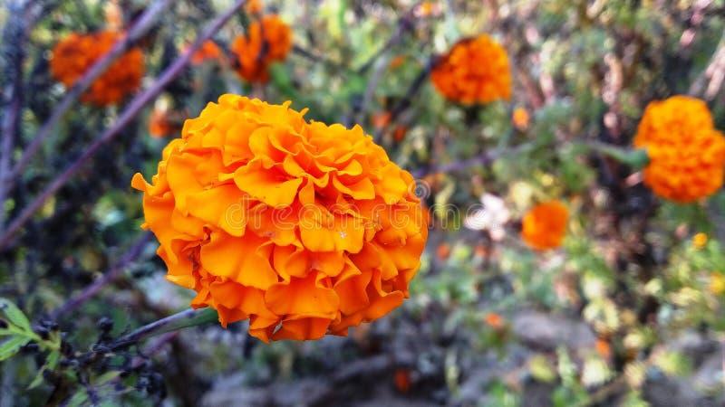 de Indische bloem royalty-vrije stock afbeeldingen