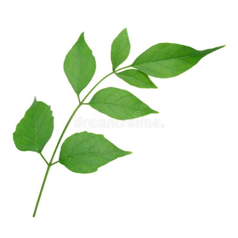 De Indische cork boombladeren isoleren op witte achtergrond stock foto's