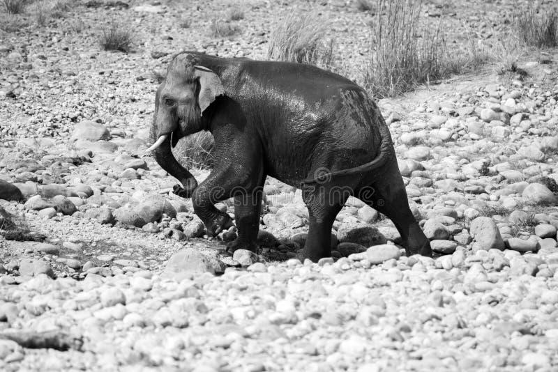 De Indische mannelijke olifant tusker kruiste de Ramganga-rivier nam een bad in Jim Corbett National Park stock fotografie
