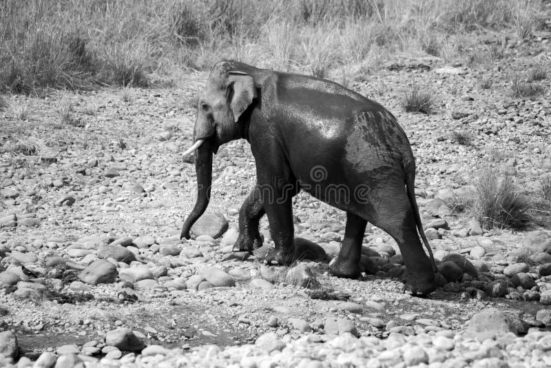 De Indische mannelijke olifant tusker kruiste de Ramganga-rivier nam een bad in Jim Corbett National Park royalty-vrije stock fotografie