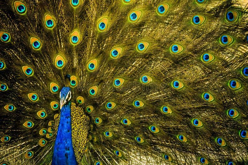 De Indische Nationale Vogel bij zijn beste stelt royalty-vrije stock afbeeldingen