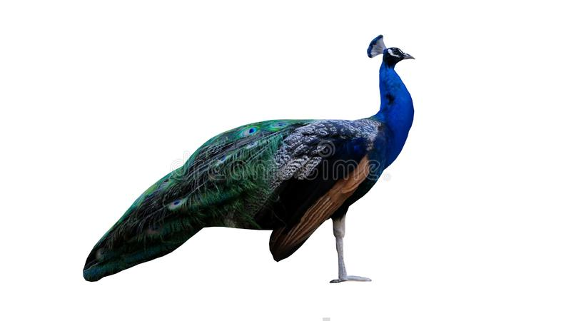 De Indische Pauw die 3D Photorealistic bevinden zich geeft terug stock illustratie