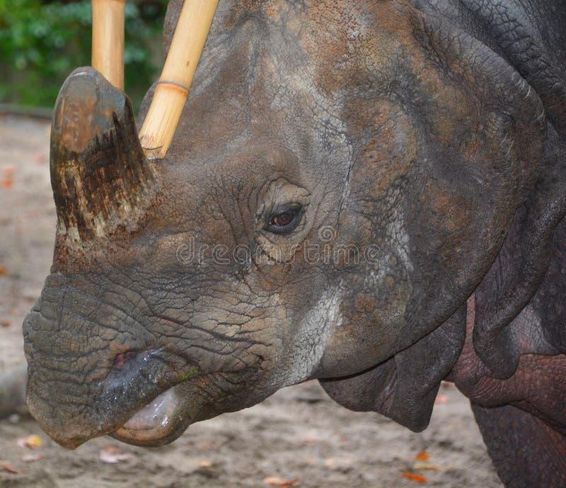 De Indische rinoceros royalty-vrije stock fotografie