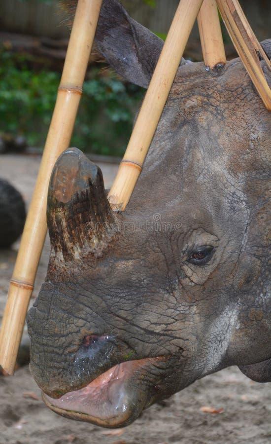 De Indische rinoceros royalty-vrije stock afbeeldingen