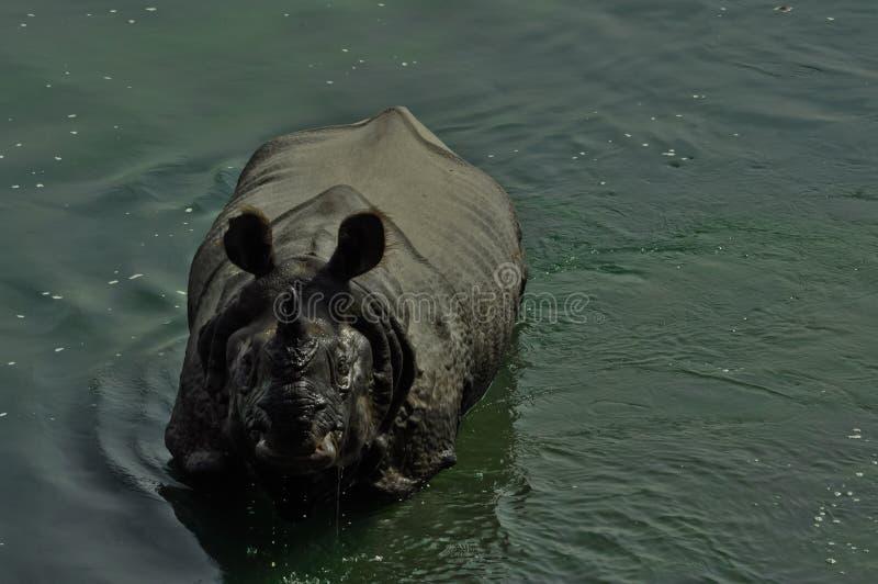 De Indische rinoceros bekijkt u stock afbeelding