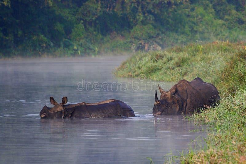 De Indische Rinoceros van de moeder en van de baby stock foto's