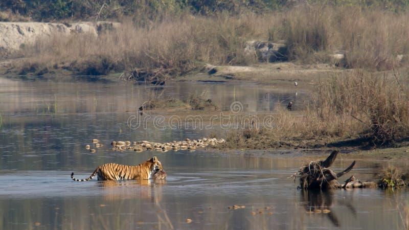 De Indische tijger van Bengalen in Népal stock fotografie
