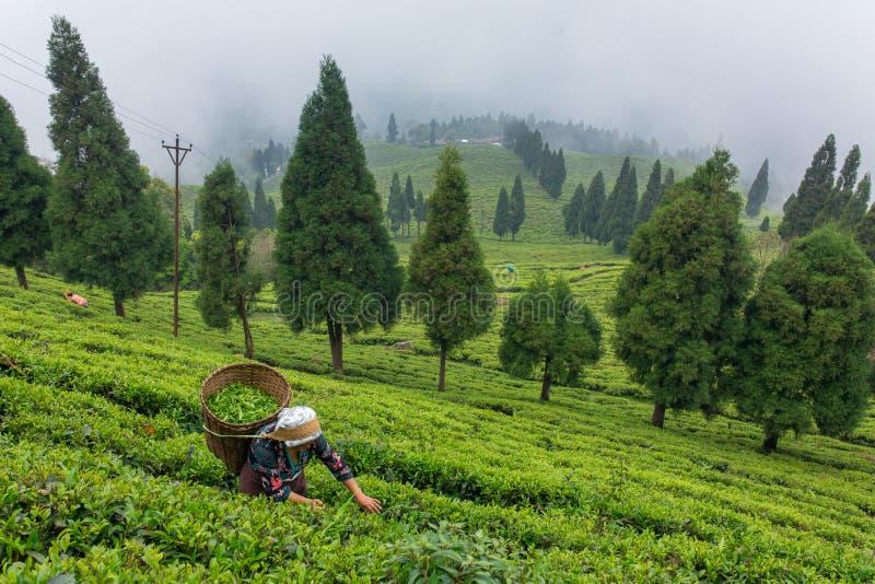 De Indische vrouw neemt de verse theebladen van theeaanplanting in op het gebied van Sikkim, India royalty-vrije stock foto