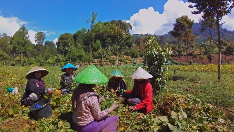 De Indonesische boonlandbouwers glimlachten in activiteit royalty-vrije stock afbeeldingen