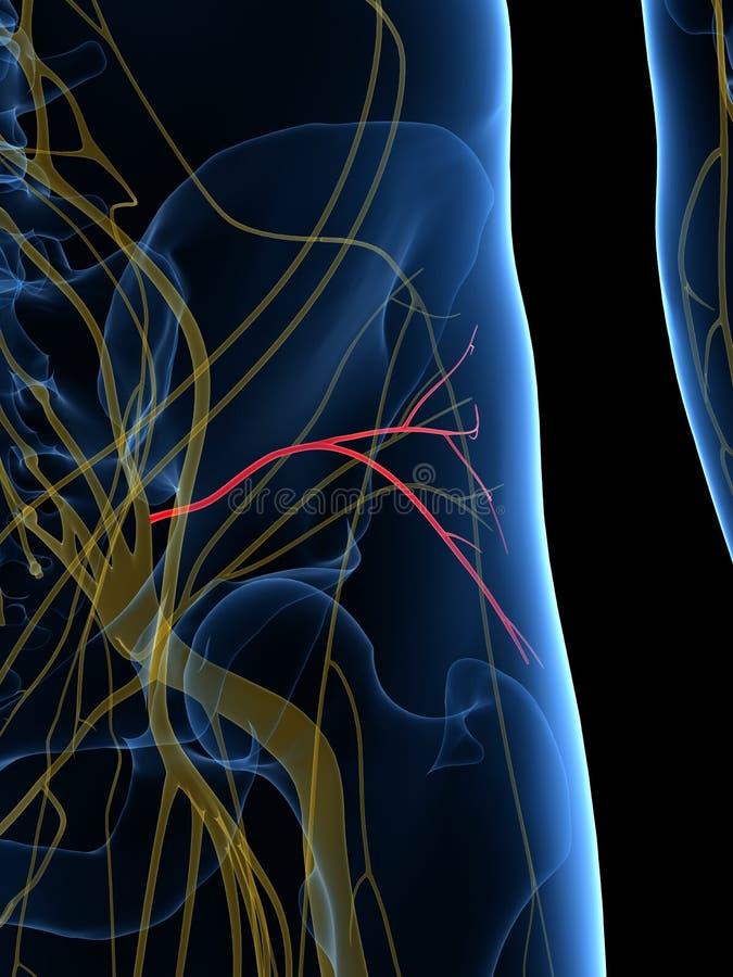 De Inferieure Gluteal Zenuw vector illustratie