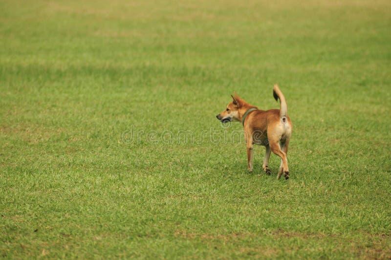 De inheemse honden van Thailand op het gazon royalty-vrije stock foto