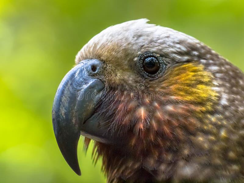 De inheemse Kaka papegaai van Nieuw Zeeland stock foto's