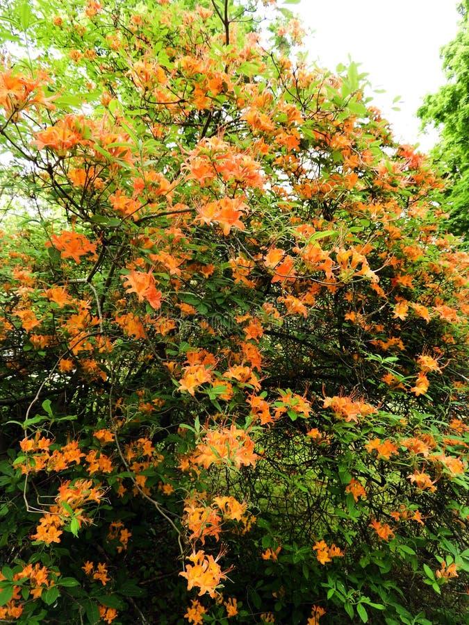 De inheemse struik van vlamazalea rhododendron in Massachusetts stock afbeelding