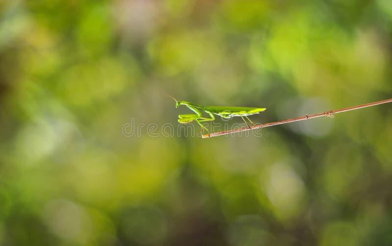 de insectbidsprinkhaan zit op een tak in het bos royalty-vrije stock foto