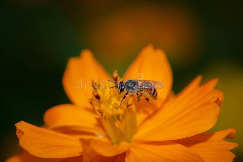 De insecten vliegen aan het stuifmeel natuurlijk voor het leven stock foto's