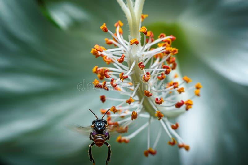 De insecten vliegen aan het stuifmeel natuurlijk voor het leven Nadruk op stuifmeel Deze beeldmacro stock afbeelding
