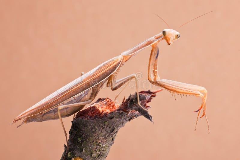 De insectenclose-up van bidsprinkhanen stock afbeeldingen
