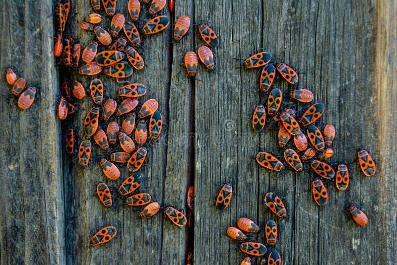 De insectenkolonie van Pyrrhocorisapterus op de houten omheining tijdens de zomerdag die wordt gevestigd royalty-vrije stock afbeeldingen