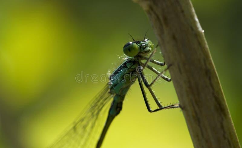 De insectlibel in de wildernis royalty-vrije stock fotografie