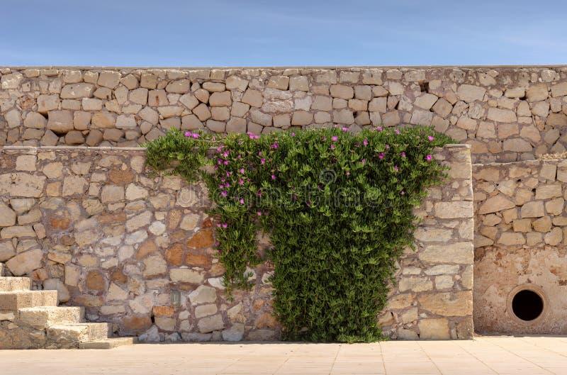 De installatie edulis Carpobrotus groeit op de oude muur stock afbeelding