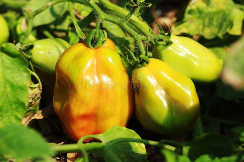 De installatie en het fruit van de tomatennachtschade royalty-vrije stock foto