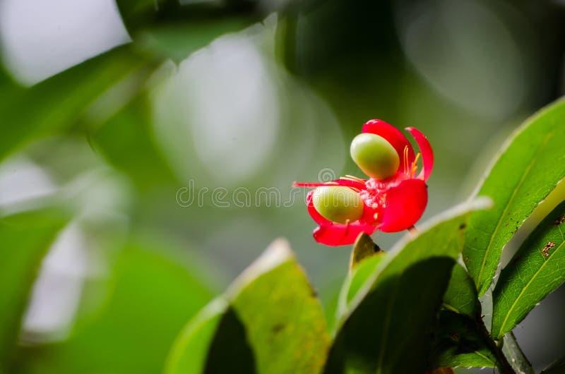 De installatie rode bloem van de Mickeymuis met zijn groene zaden in een lentetijd bij een botanische tuin stock afbeelding