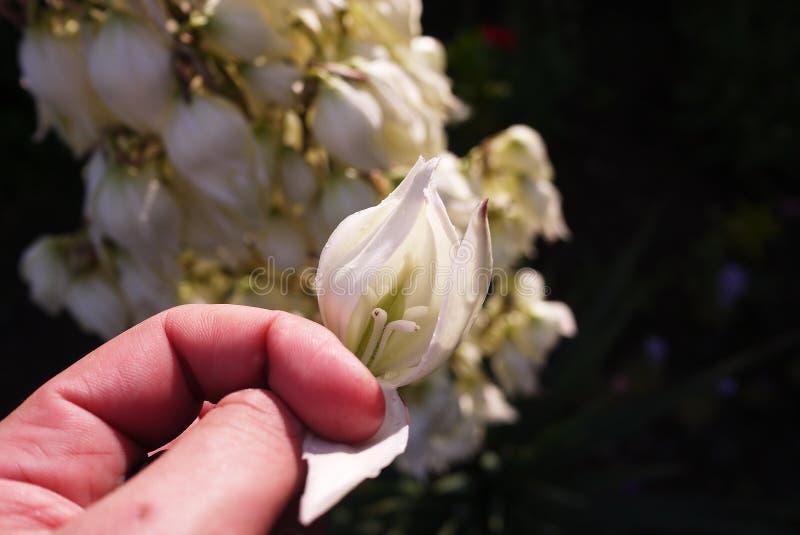 De installatie van de bloeiyucca Details en close-up royalty-vrije stock afbeeldingen