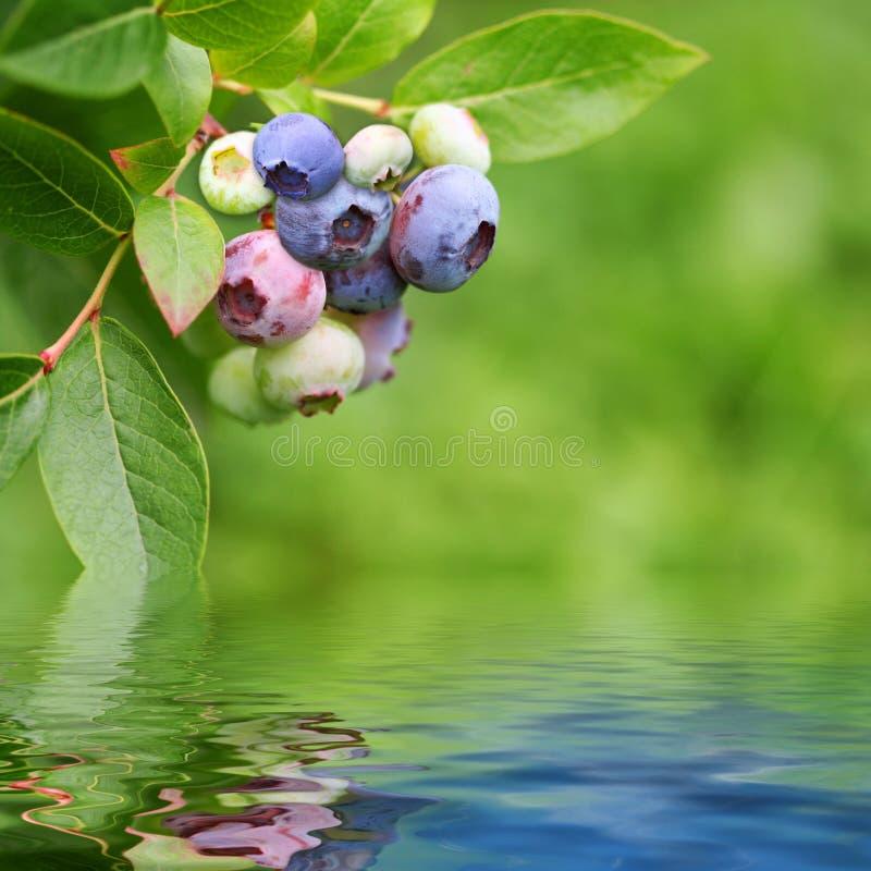De installatie van Bluberry die in teruggegeven water wordt weerspiegeld royalty-vrije stock afbeelding