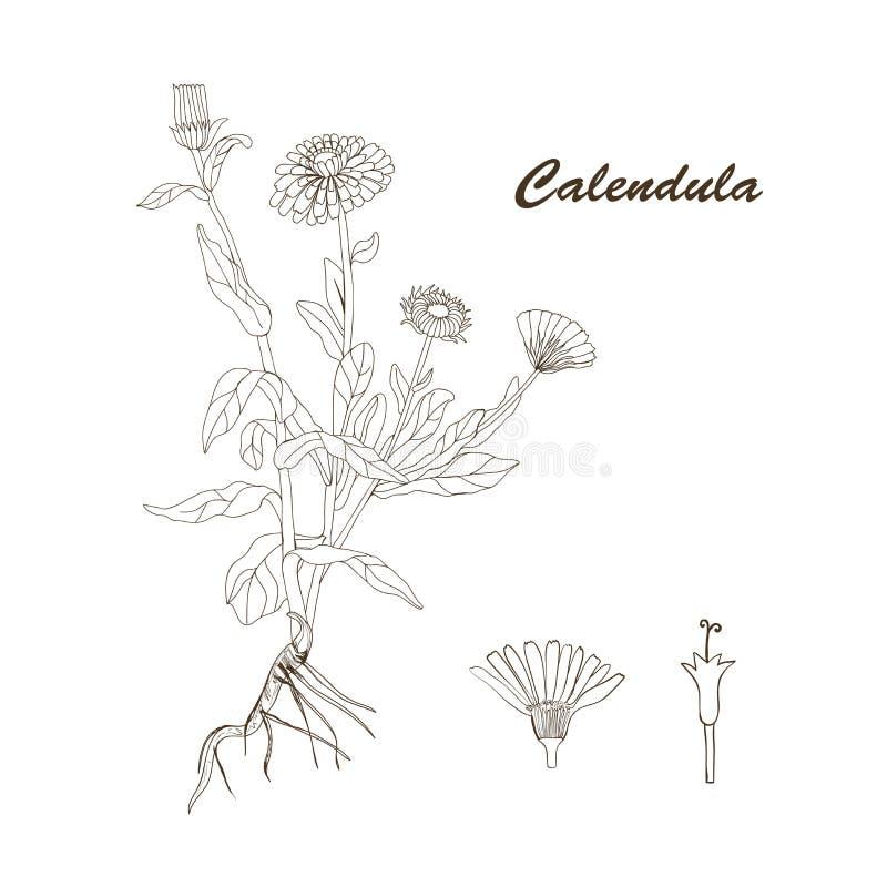 De installatie van Calendula royalty-vrije stock afbeeldingen