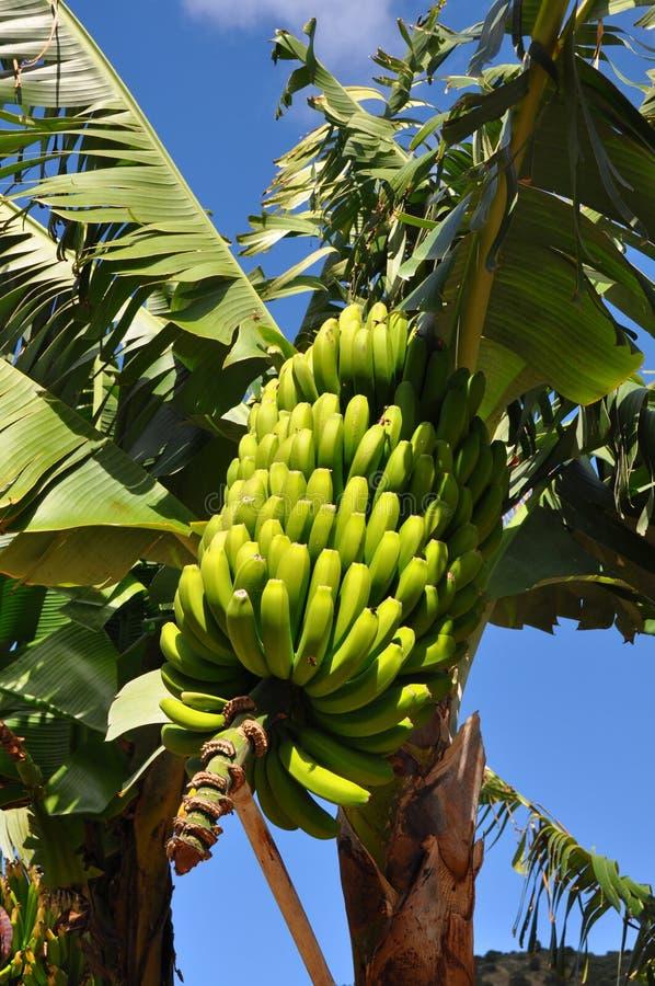 De installatie van de banaan stock fotografie