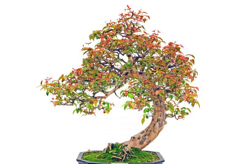 De installatie van de bonsai