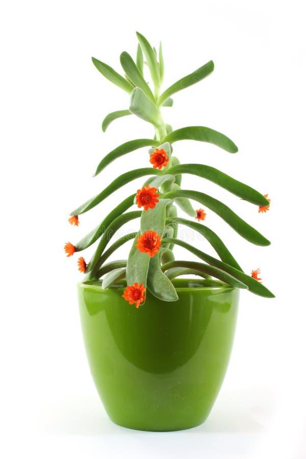 De Installatie van de cactus stock afbeeldingen