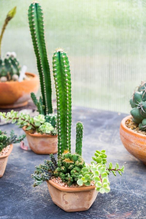 De installatie van de cactusfamilie schikt decor royalty-vrije stock afbeeldingen
