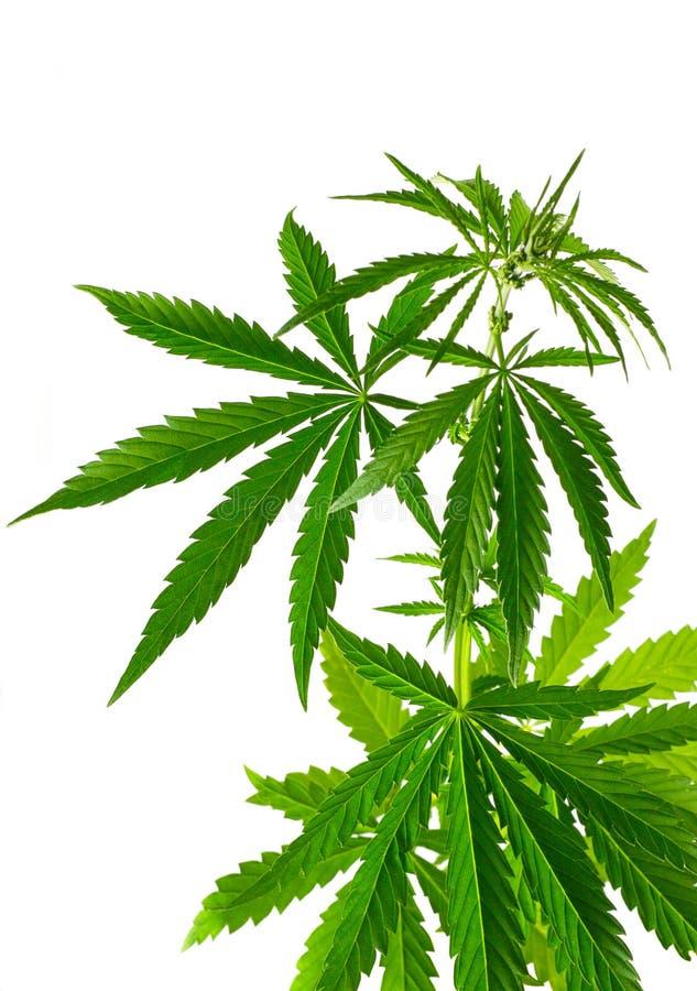 De installatie van de cannabis royalty-vrije stock foto