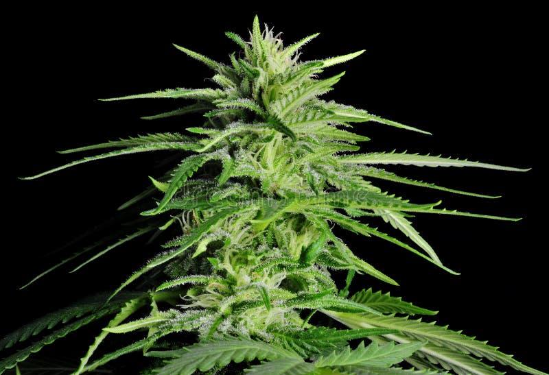 De Installatie van de cannabis royalty-vrije stock fotografie