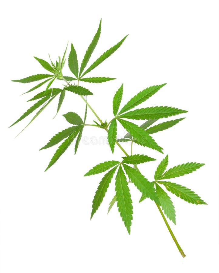De installatie van de cannabis stock foto