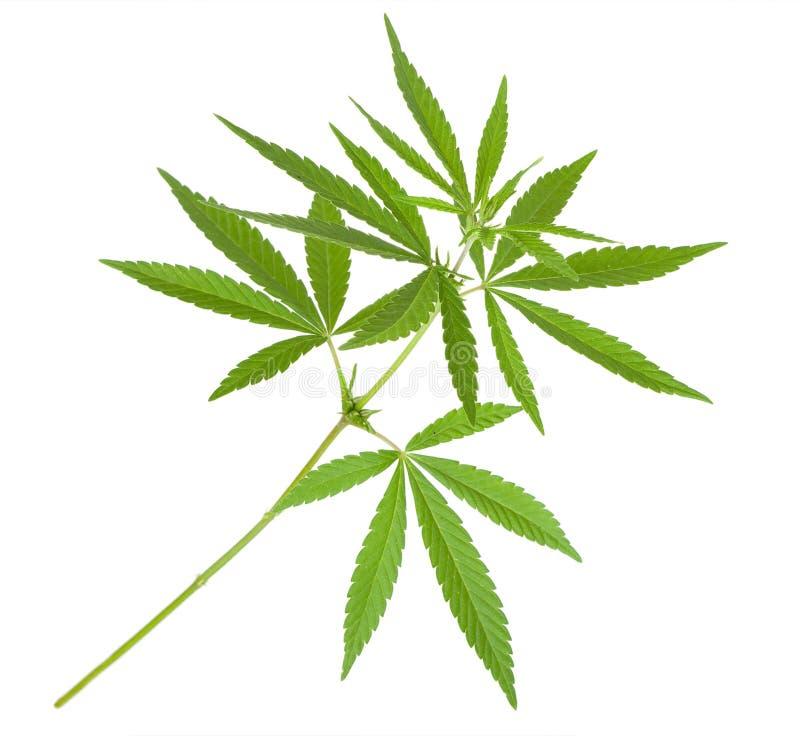 De installatie van de cannabis royalty-vrije stock afbeeldingen