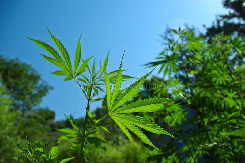 De Installatie van de cannabis stock foto's