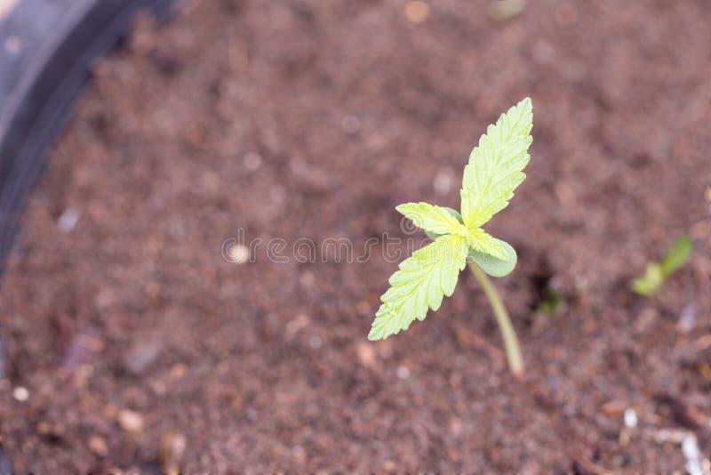 De installatie van de cannabis in grond stock afbeeldingen