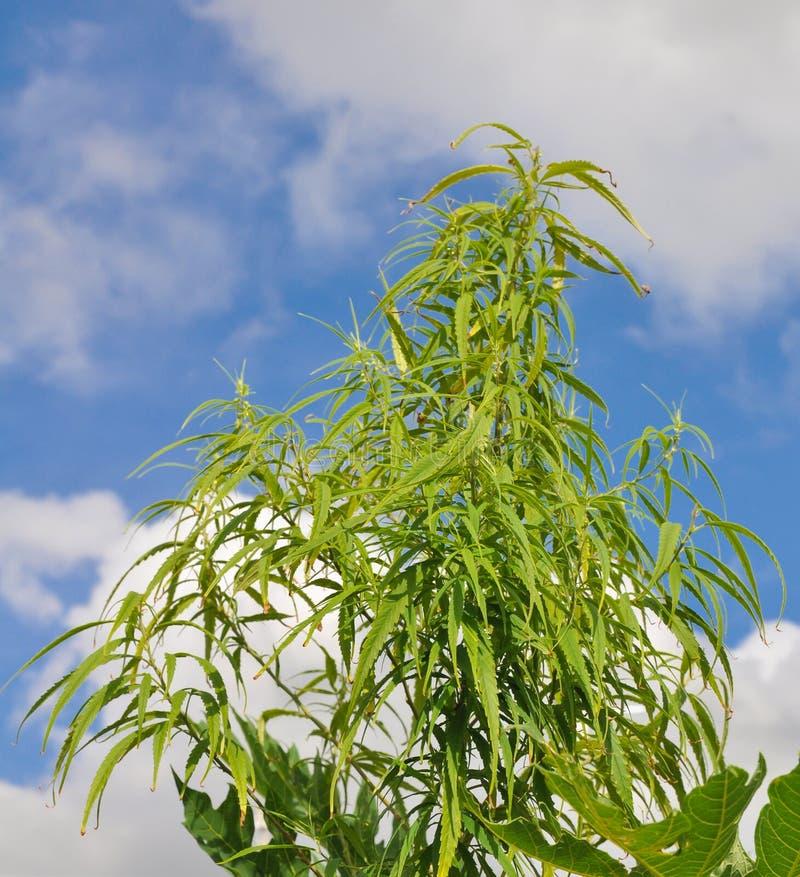 De installatie van de cannabis tegen blauwe hemel stock afbeelding