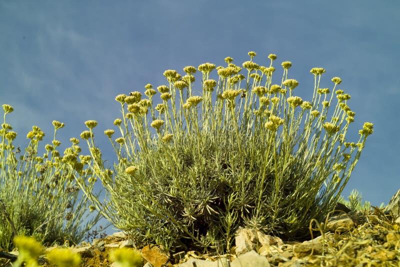 Kerrieinstallatie (Helichrysum-italicum) royalty-vrije stock afbeeldingen