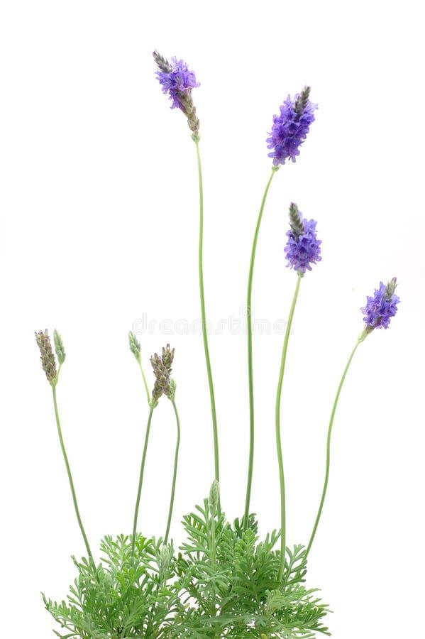 De installatie van de lavendel stock foto