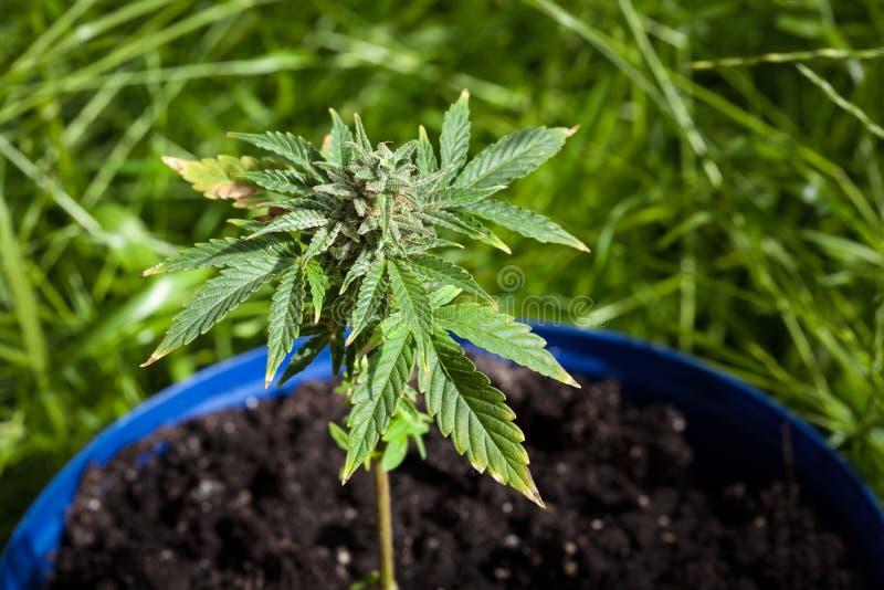 De Installatie van de marihuana royalty-vrije stock foto