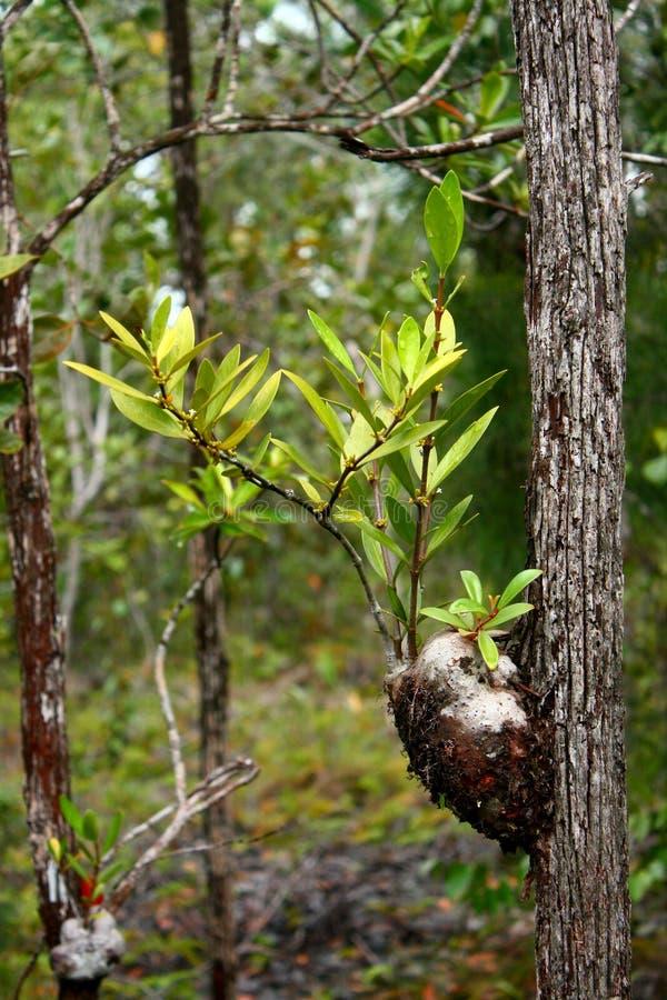 De installatie van de mier; Myrmecophyte royalty-vrije stock foto's