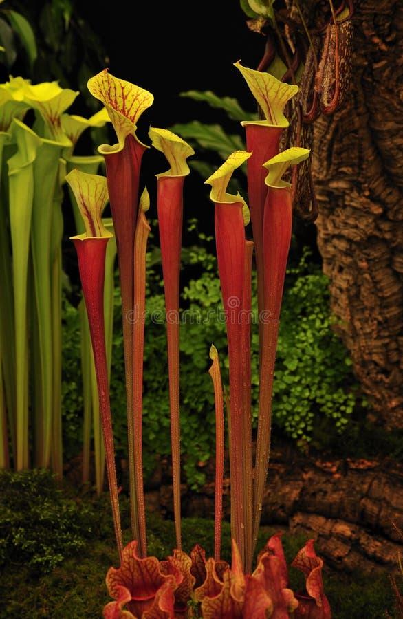 De installatie van de waterkruik (Sarracenia hybride Johnny Marr)) stock afbeeldingen