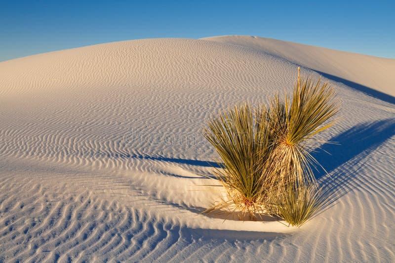 De Installatie van de Yucca van Soaptree op het Witte Duin van het Zand royalty-vrije stock afbeelding