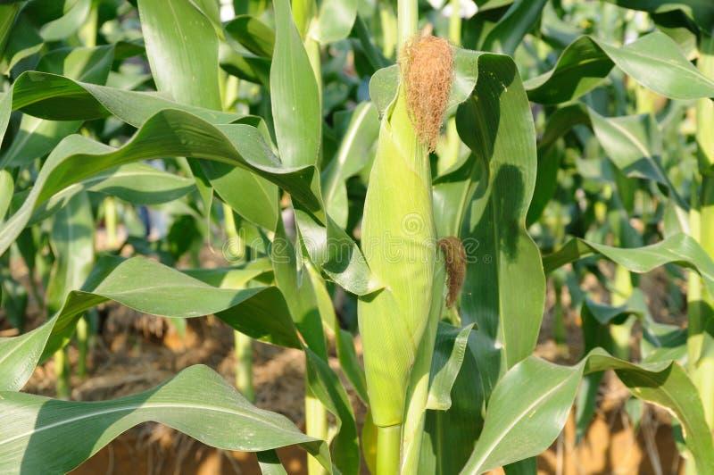 De installatie van de zoete maïs stock afbeeldingen